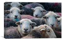 Flock Of Herdwicks, Canvas Print