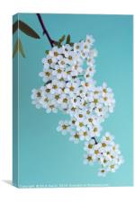 Bridal Wreath Spirea, Canvas Print