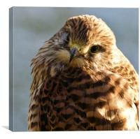 Cute Buzzard, Canvas Print