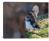 Puffin take-off, Canvas Print
