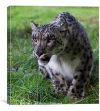 Prowling Snow Leopard, Canvas Print