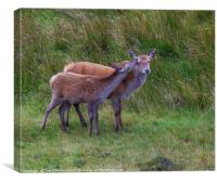Highland affection, Canvas Print
