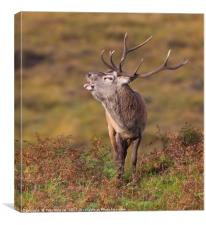 Rutting Red Deer Stag II, Canvas Print