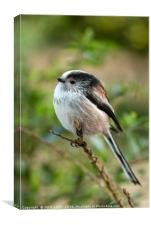 Long-Tailed Tit, Canvas Print