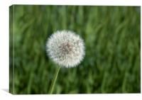 Close up of the seed head of dandelion flower, Canvas Print