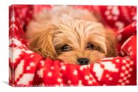 Cute Cavapoochon puppy, looking at the camera., Canvas Print