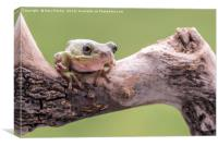 White Tree Frog, perched on a branch, Canvas Print