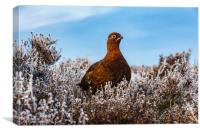 Red Grouse, Canvas Print