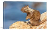 Sunbathing ground squirrel, Canvas Print