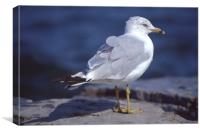 Seagull looking right, Canvas Print