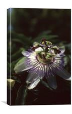 PASSIFLORA, Canvas Print