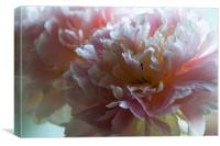 A Peony Bloom, Canvas Print