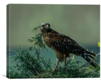 Peace Offering Hawk, Canvas Print