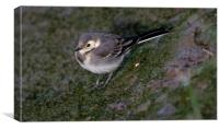 Young  Pied Wagtail, Canvas Print