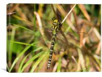 Southern Hawker Dragonfly, Canvas Print