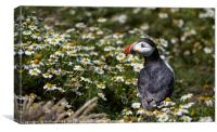 Puffin amongst the daisy, Canvas Print