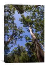 Tall Trees at Valley of the Giants, Australia , Canvas Print