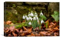Snowdrops by stone wall., Canvas Print