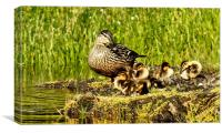 Mallard and Brood, Canvas Print