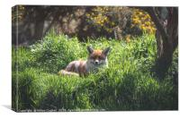 A Resting Red Fox, Canvas Print