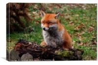 Mr Fox Smiling for the camera, Canvas Print