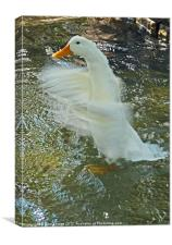 Shaking it Off - Just water off a Duck's back., Canvas Print