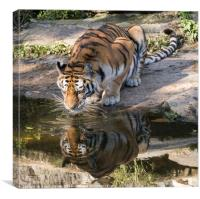 Indochinese Tiger, Canvas Print