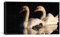 Swans and Teal Duck, Canvas Print