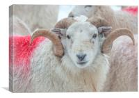 Welsh Mountain Hill Tup, Canvas Print