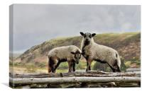 Badger Faced Welsh Mountain lambs, Canvas Print