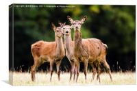 Red Deer hinds, Canvas Print
