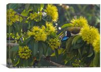 Blue faced honeyeater , Canvas Print
