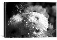 Chrysanthemums ( black and white) , Canvas Print