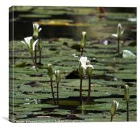 White Water Lilies , Canvas Print