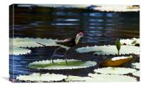 Comb-crested Jacana , Canvas Print