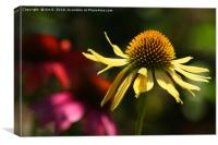 Yellow Rudbeckia, Canvas Print