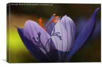 Purple Autumn Crocus, Canvas Print