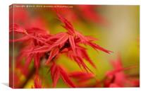 Red Maple, Canvas Print