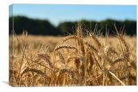Harvest time in Kent, Canvas Print