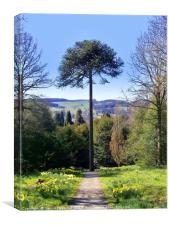 Monkey Puzzle at Chatsworth , Canvas Print