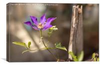 Lone Clematis, Canvas Print