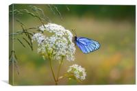 Butterfly with blue wings sits on the field flower, Canvas Print