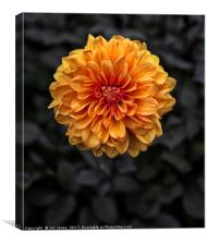Chrysanthemum in bloom, Canvas Print