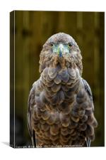 Female Bateleur Eagle, Canvas Print