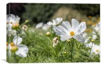 Mexican Aster -White Cosmos Bipinnatus, Canvas Print