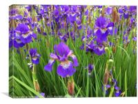 Irises in May., Canvas Print