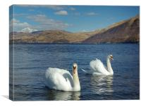 Swans on Loch Etive, Canvas Print
