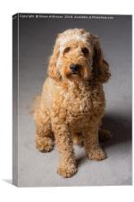 Cockapoo, Canvas Print