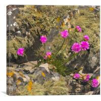 Thrift among a lichen covered granite outctop, Canvas Print
