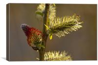Goat willow catkins, Canvas Print